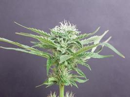 blommande grön cannabisknopp på grå bakgrund foto