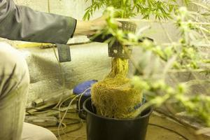 odling av hydroponisk cannabis