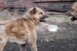 två aggressiva hundar foto