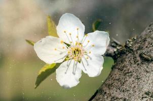 närbild av en äppelträdblomma foto