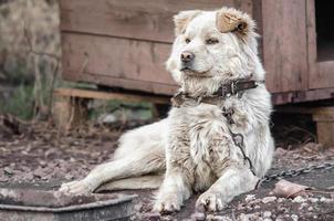 vit hund på en kedja foto