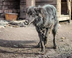 svart hund på en kedja utanför foto
