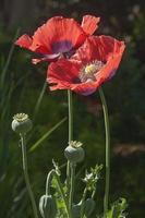 opium vallmoblommor foto