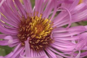 new england aster symphyotrichum novae-angliae även känd som michaelmas daisy. ett annat vetenskapligt namn är aster novae-angliae. foto