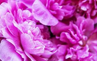 rosa pioner med daggdroppar foto