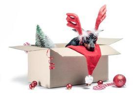 miniatyr pinscher valp sitter i en låda med juldekor foto