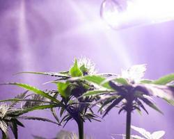 odling av marijuana inomhus under konstgjorda ljus foto