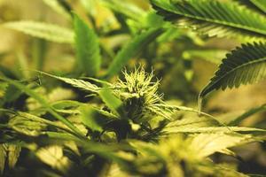 odla gröna cannabisknoppar inomhus, odling av medicinsk marijuana foto