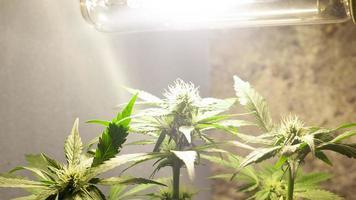 odling av cannabis inomhus under konstgjorda lampor foto