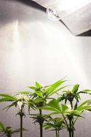 odla marijuana under konstgjort ljus hemma foto