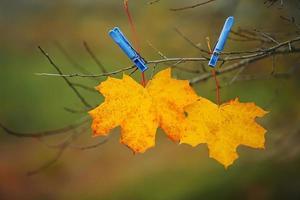 gula löv fästa med klädnypor i parken. höstbakgrund. foto