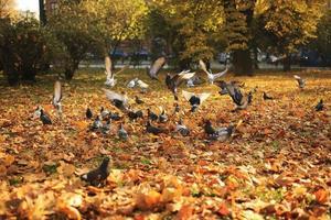 en stor flock duvor lyfter från marken till luften i parken på hösten. flygande vilda duvor, vårlandskap foto