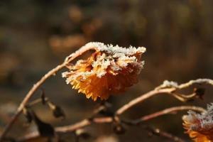 gula krysantemum täckta av snö. gula blommor täckta med frost foto