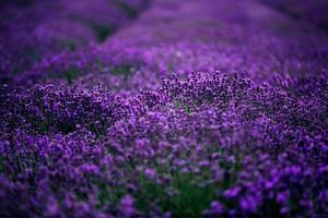 havet av lavendel blommor fokuserade på en i förgrunden, lavendel fält. foto