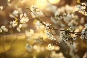 vårkörsbärsblommor, vita blommor. vårsäsong foto