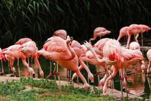en grupp rosa flamingor som jagar i dammen, oas av gröna blad i stadsmiljö foto