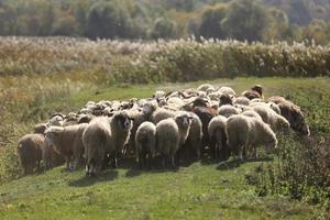 en flock vädrar betar ute i gräset på ängen. selektivt fokus foto