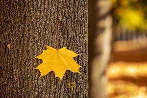 enda gula lönnlöv på en trädstam på hösten med en suddig bakgrund av park. bladet är fäst vid trädets bark under en solig dag. park täckt av gula löv
