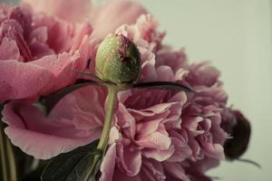 oöppnad knopp av rosa pion foto