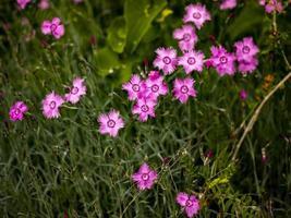 dianthus rosa blommor i fältet foto