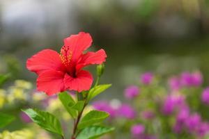röd hibiskusblomma med suddig trädgårdsbakgrund foto