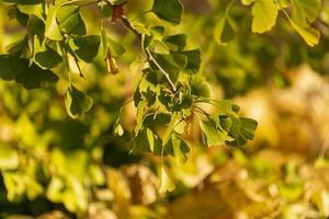 bakgrundsbelyst ginkoblad och grenar med en suddig bakgrund foto