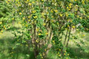 berberisbuske med gula blommor foto