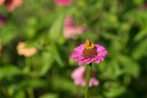 zinnia blomma med suddig trädgård bakgrund foto