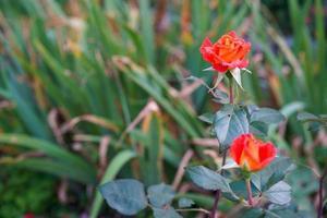 röda eller orange rosor med en suddig bakgrund av gröna blad och växter foto