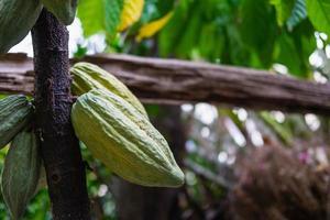 färsk kakaofrukt från kakaoträd foto