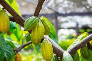 ljus kakaofrukt foto