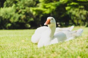 vit gås på grönt fält foto