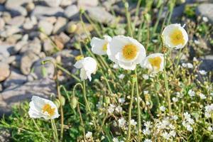 gula och vita vallmo bredvid stenar foto