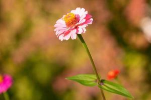 zinnia blomma med en suddig trädgård bakgrund foto