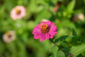 zinnia blommor med en suddig trädgård bakgrund foto