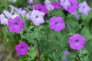 lila petunior i en trädgård foto