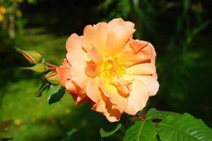 närbild av en orange ros med en suddig grön bakgrund foto