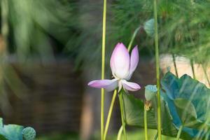 lotusblomma bland stora blad och vegetation med suddig bakgrund foto