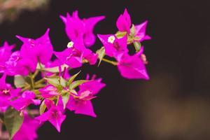ljusrosa bougainvillea blommor med en suddig grön bakgrund i sochi, ryssland foto