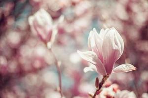 rosa magnoliablommor foto