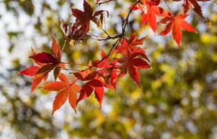 närbild av röda lönnlöv på en gren med suddiga träd i bakgrunden foto