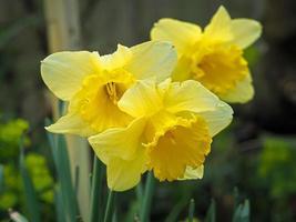tre gula påskliljor foto