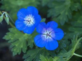 blå kranbock pelargonblommor foto