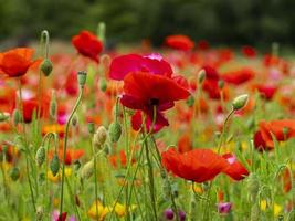 röda vallmo blommor foto