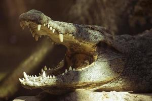 närbild av en krokodil foto