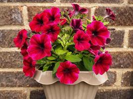 rosa petunia blommor foto