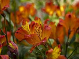 orange och gula flammande stjärnblommor foto