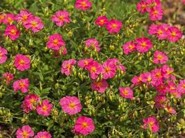 rosa stenrosblommor foto