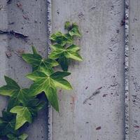 gröna blad på den grå väggen under vårsäsongen foto