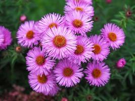 rosa asterblommor foto